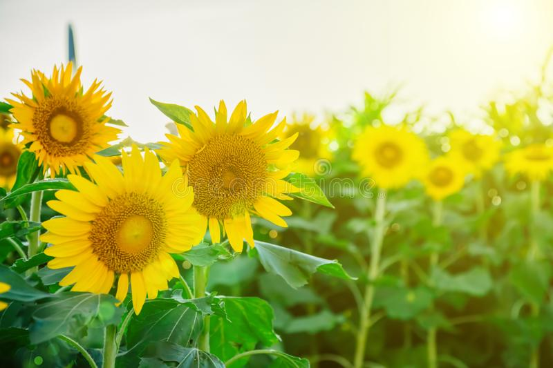 Field of many sunflowers in green leaves. Summer colors.  royalty free stock photos