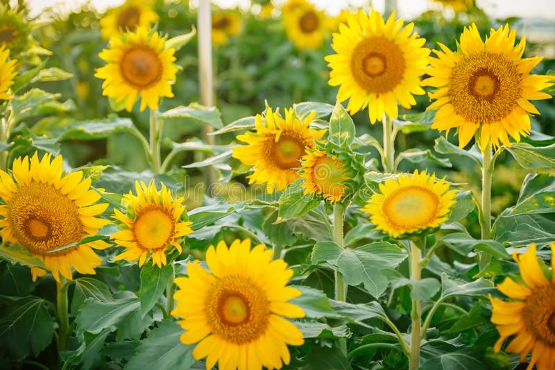 Field of many sunflowers in green leaves. Summer colors.  stock photos