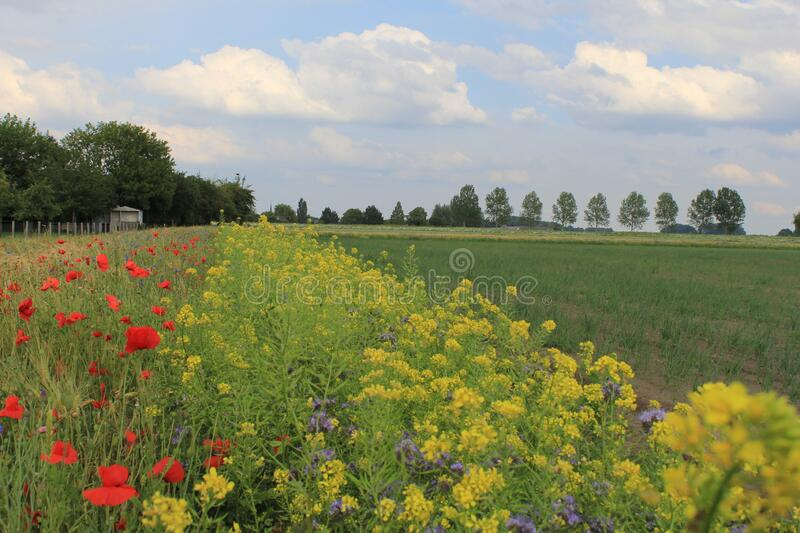 A field margin with yellow rapeseed and red poppies in the dutch countryside royalty free stock photo