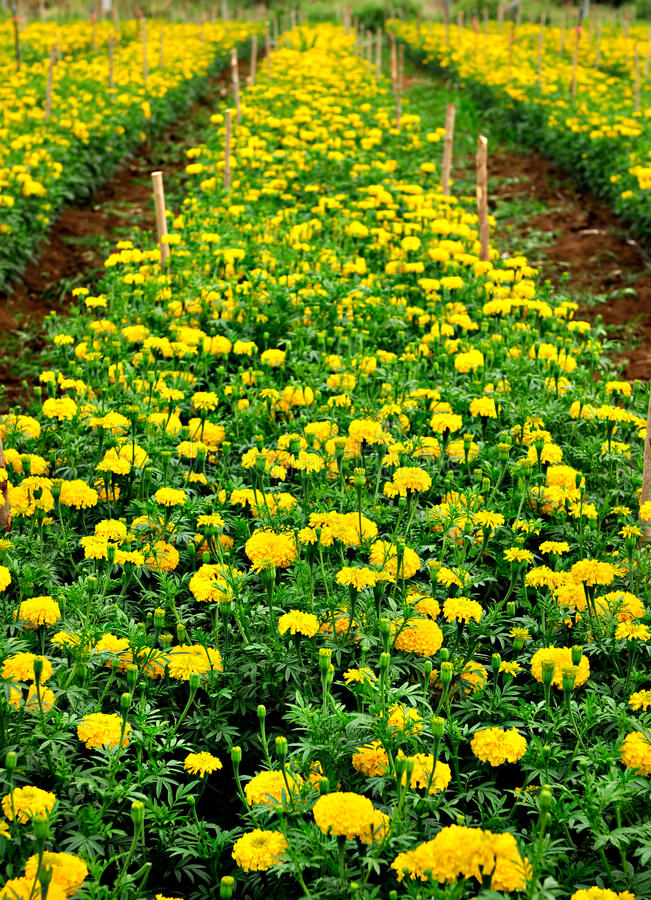 Download Field of Marigold stock photo. Image of macro, bloom - 17901428