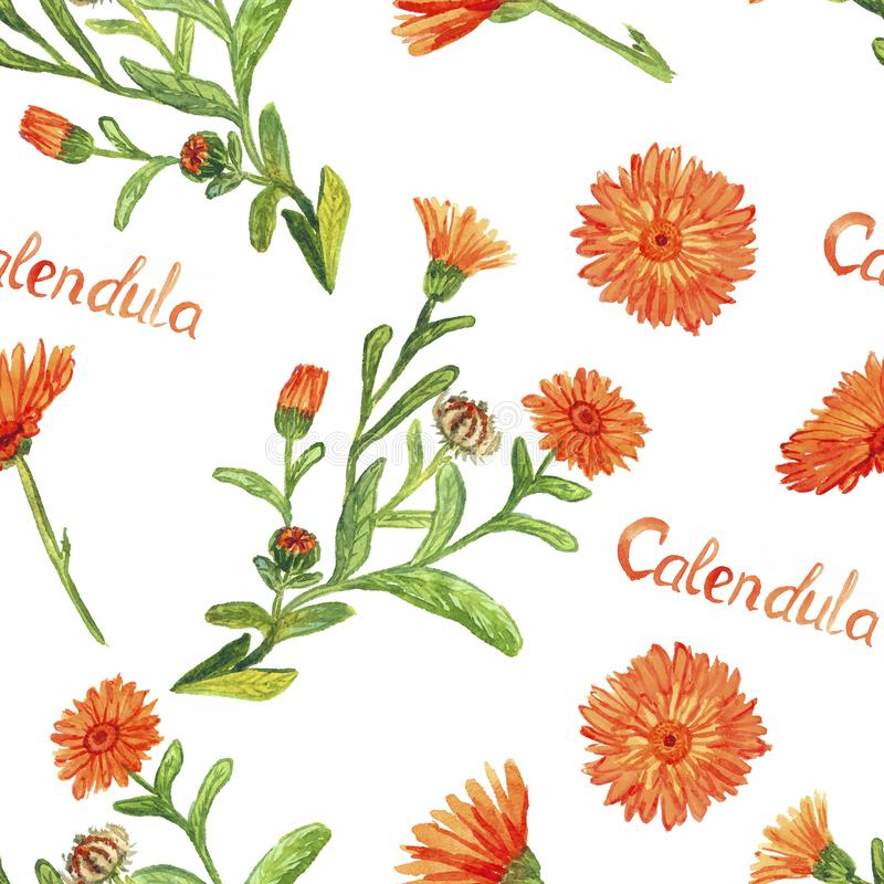 Field marigold Calendula arvensis flowers, hand painted watercolor illustration with inscription, seamless pattern design royalty free illustration