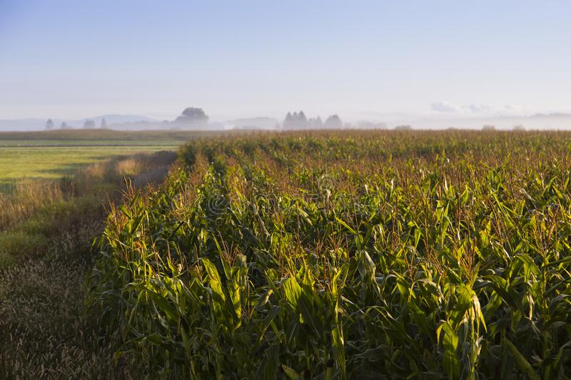 Field of mature corn seen during a beautiful misty late summer golden hour morning. With trees and farm in soft focus background, St.-Charles-de-Bellechasse royalty free stock photo