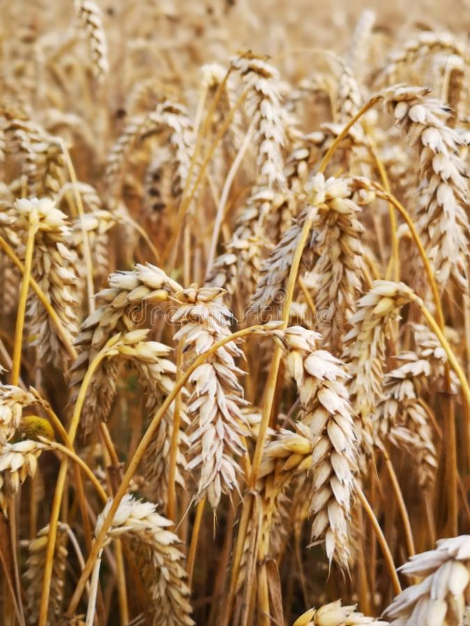 Field of mature rye cereals stock images
