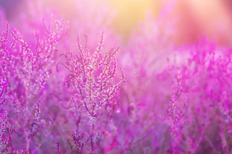 Field Meadow with Beautiful Flowers in Trendy Ultraviolet and Pastel Colors. Golden Sunlight Flare Beams royalty free stock images