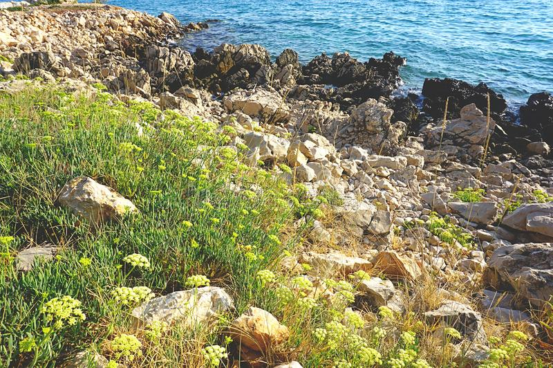 Field of Meditteranean plant Crithmum maritimum or sea fennel and rock samphire. Healthy and edible herb stock photo