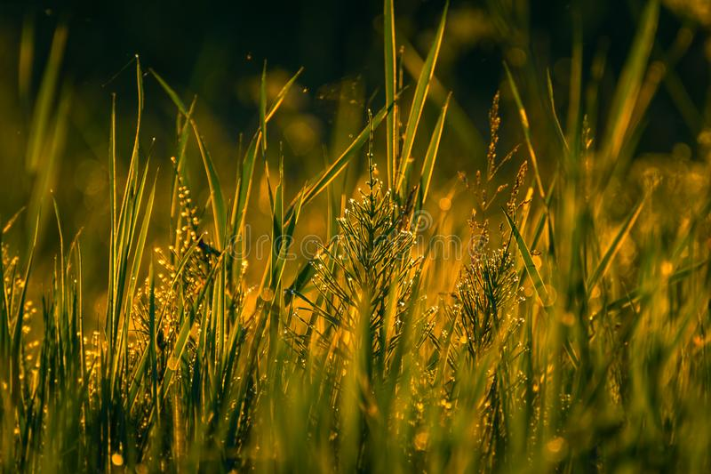 Field in morning dew. Just a photo of spring morning nature in dew royalty free stock photos