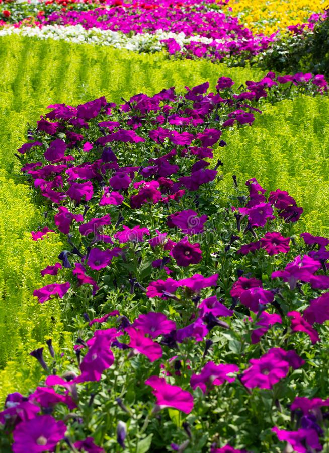 Field of morning glory flowers royalty free stock images