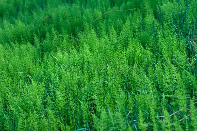 Field of motley green plains with a bluish grass growing between them stock images