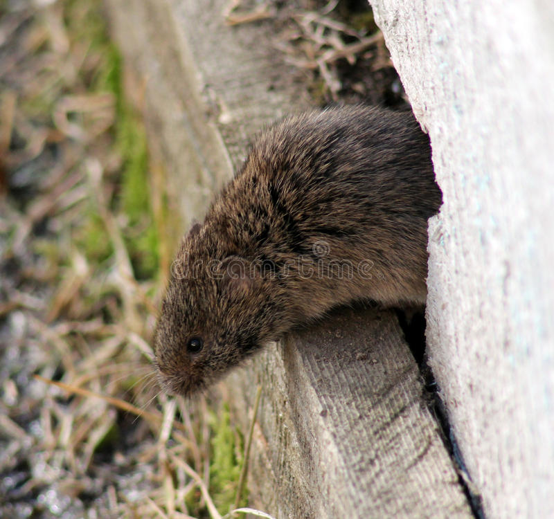 The field mouse stock image