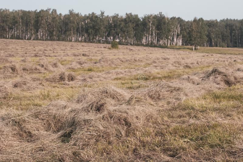 Field with mowed hay. In the distance is a forest. Selective focus in the foreground. The background is blurry royalty free stock images