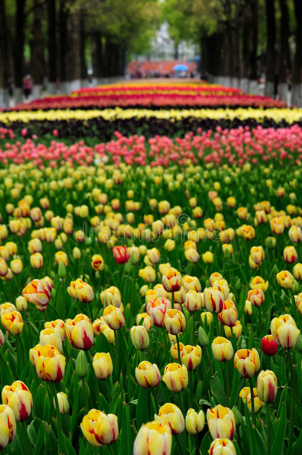 Field of multi-colored tulips stock images
