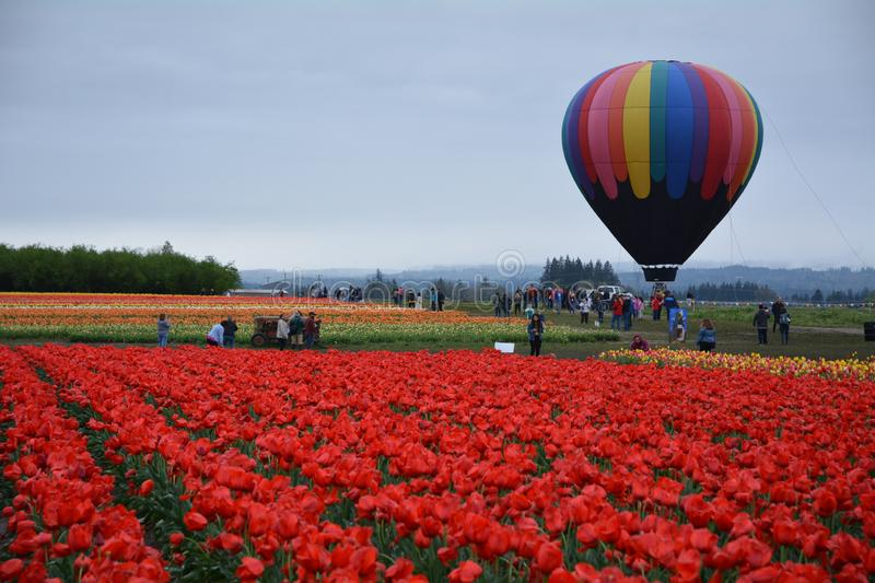 Balloon and tulip field near Woodburn, Oregon. This is a field of multi-colored tulips on the Wooden Shoe Tulip Farm near Woodburn, Oregon with a hot air balloon stock photo