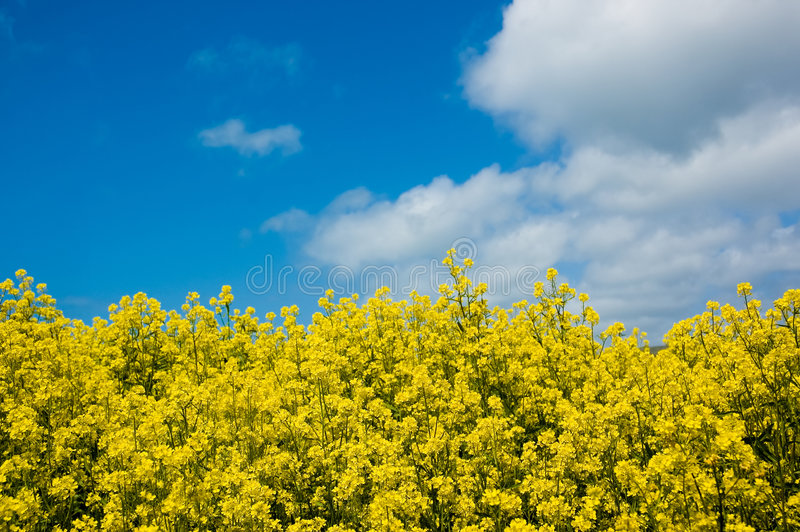 Field of Mustard royalty free stock photography