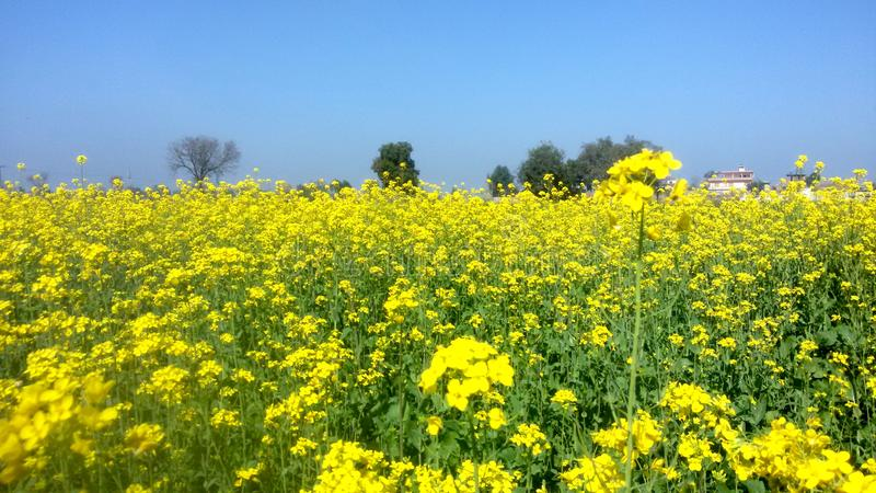 Field of mustered crop and flower in the way of sialkot pakistan royalty free stock photography