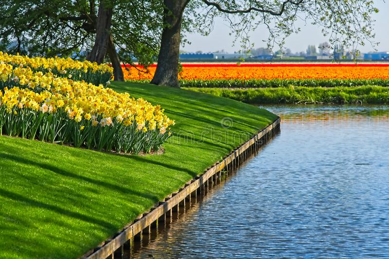 Field of narcissus. Curved field of yellow and white narcissus next to water canal with tulip fields in background in morning sun at Keukenhof park in a dutch royalty free stock images