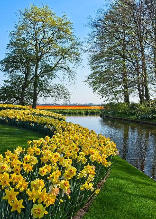 Field of narcissus. Curved field of yellow and white narcissus next to water canal with tulip fields in background in morning sun at Keukenhof park in a dutch stock photography