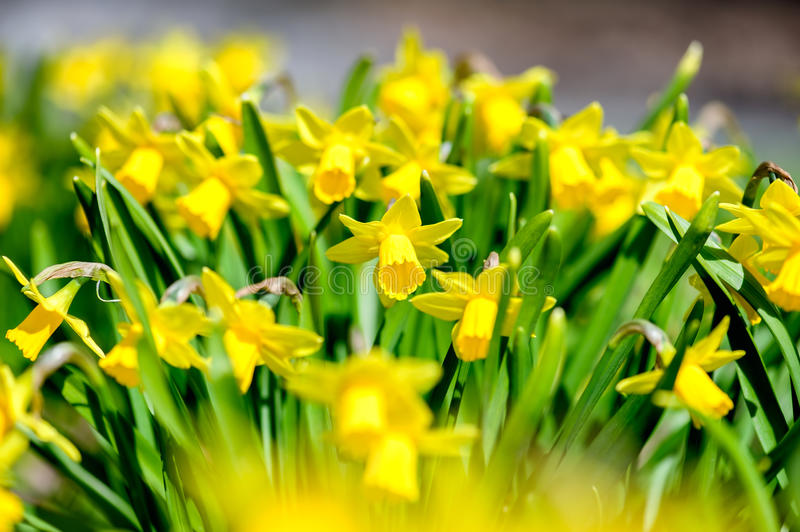 Field of Narcissus. Flowers growing in the spring, close-up. Shallow DOF stock photo