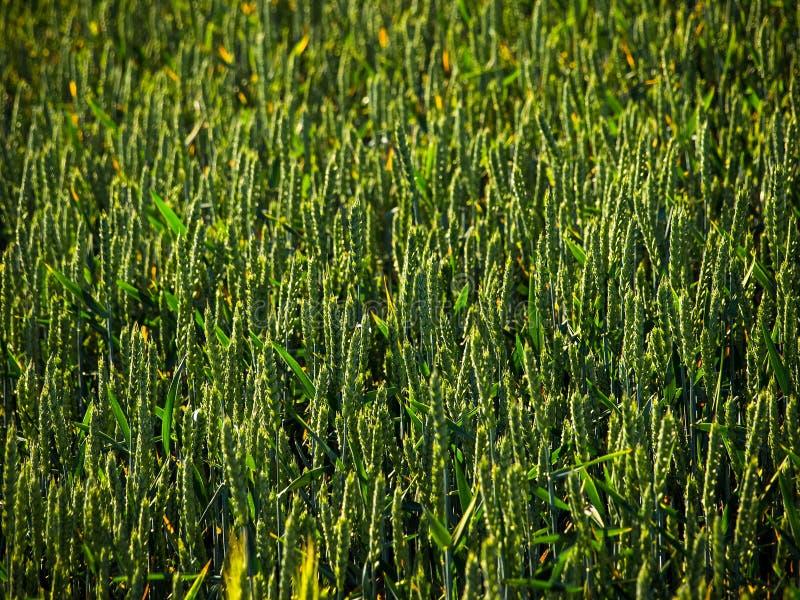 field, nature, plants, summer, light, harvest, stock images