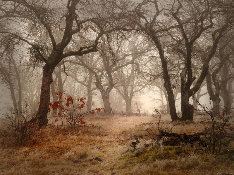 Field and oak woods on foggy day. Autumn field and barren white oak trees on a foggy day stock images