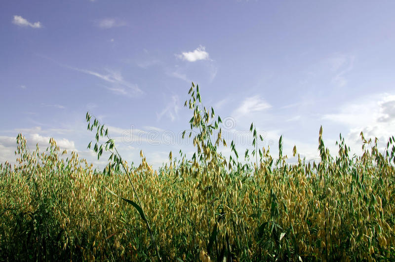 Download The field of oat. stock photo. Image of idyllic, cloud - 20471790