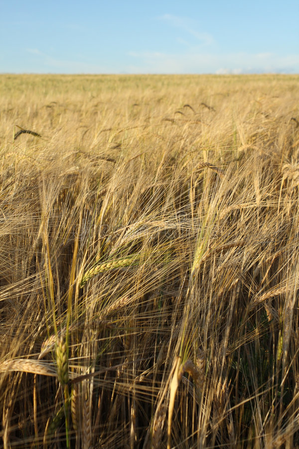 Free Field Of Barley Royalty Free Stock Images - 5809599