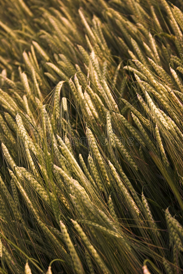 Free Field Of Barley Royalty Free Stock Photos - 904328