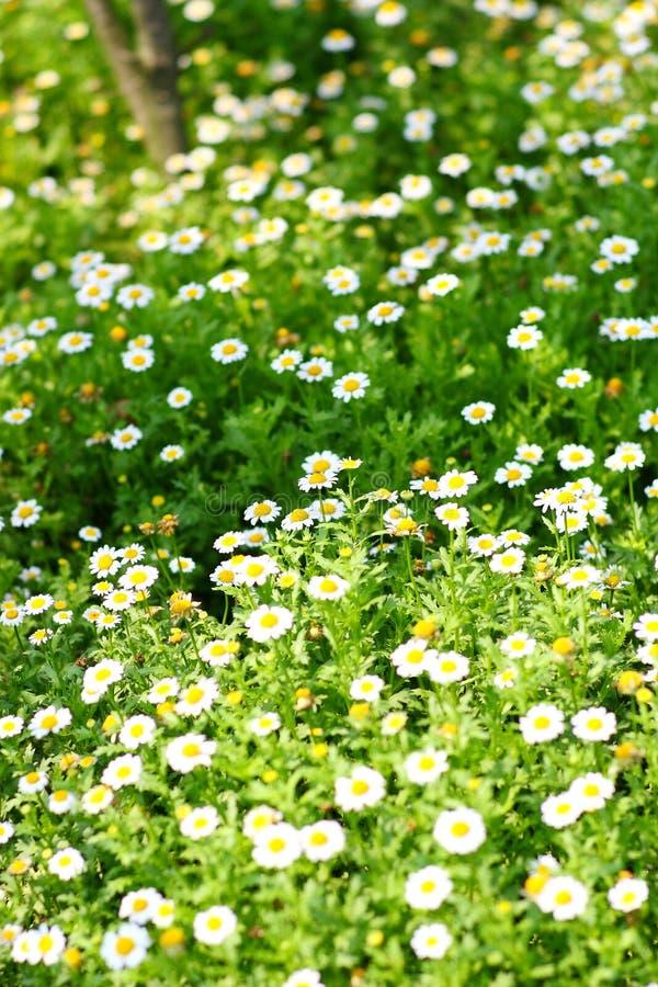 Free Field Of Daisy Royalty Free Stock Photography - 13581467