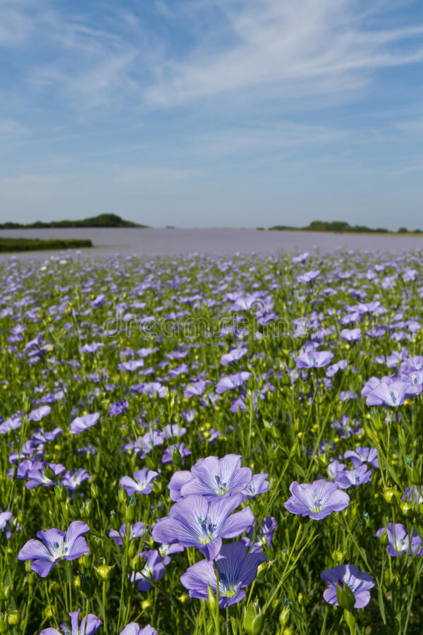 Free Field Of Linseed Or Flax In Flower Stock Photos - 14911813