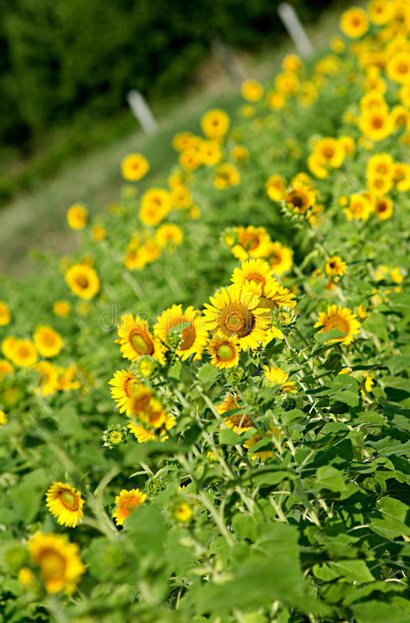 Free Field Of Sunflowers In Lexington, South Carolina Royalty Free Stock Image - 14798446