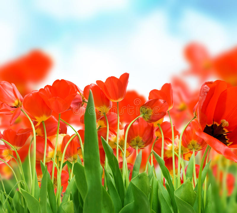 Free Field Of Tulips Royalty Free Stock Image - 9664356