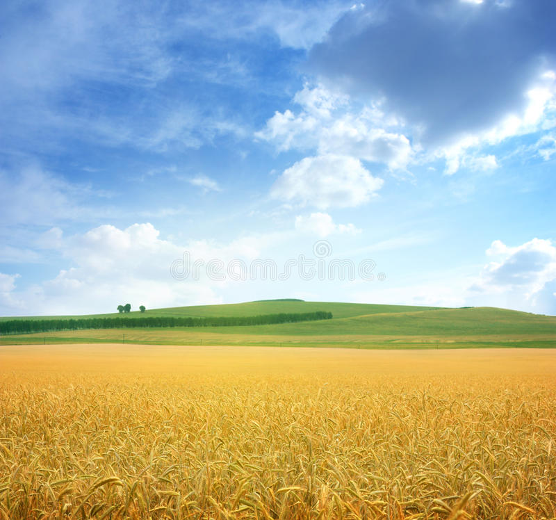 Free Field Of Wheat Royalty Free Stock Photos - 20976678