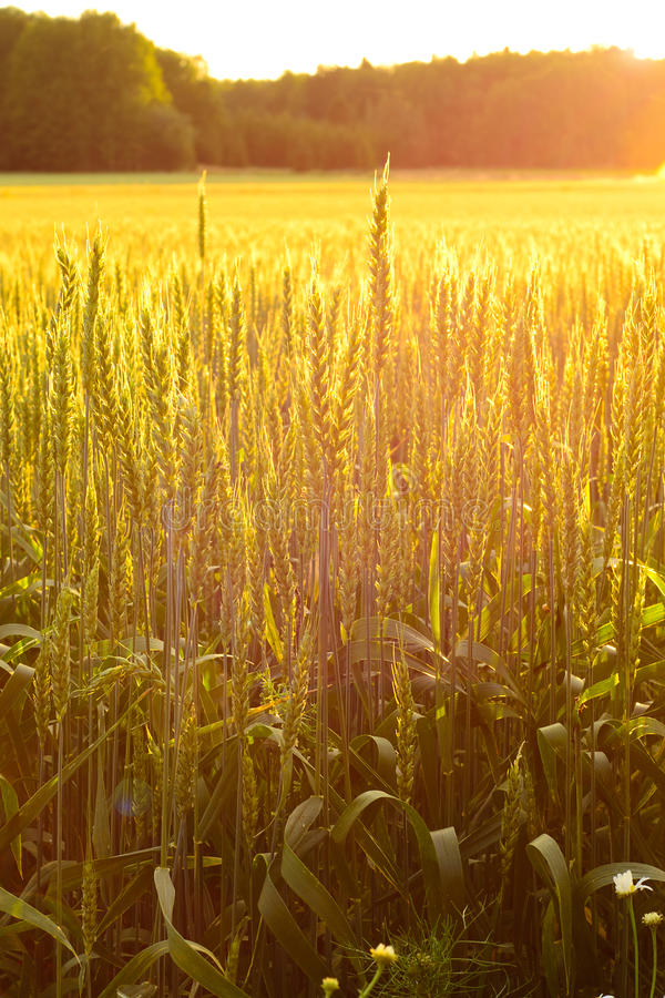 Free Field Of Wheat In The Evening Sun Stock Photos - 26162923