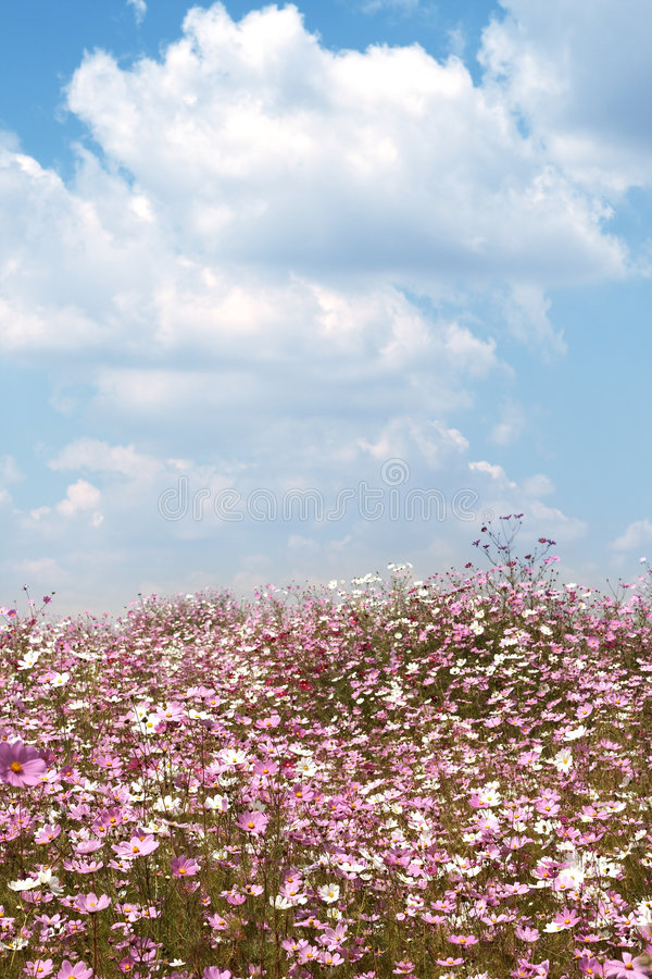 Free Field Of Wild Cosmos Flowers Royalty Free Stock Images - 5170819