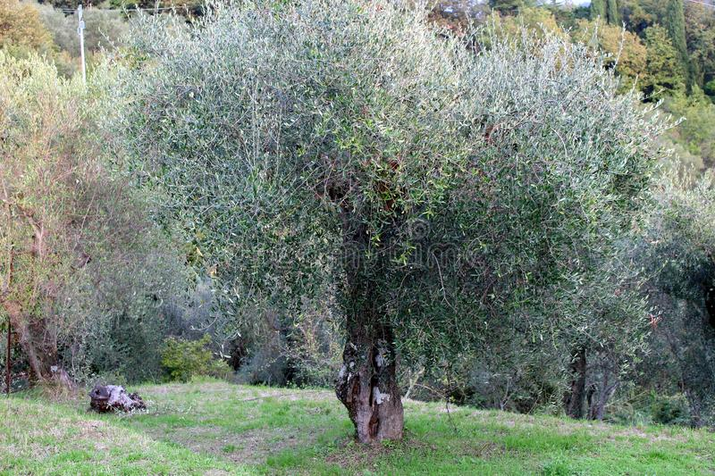 The field with the olive tree. This beautiful field with olivetrees is in Fosdinovo in Italy royalty free stock photo