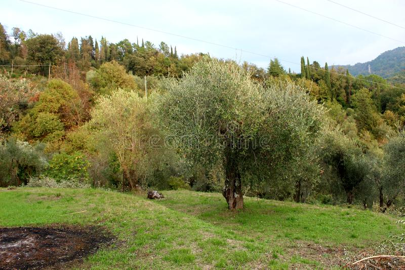 The field with the olive tree. This beautiful field with olivetrees is in Fosdinovo in Italy royalty free stock image