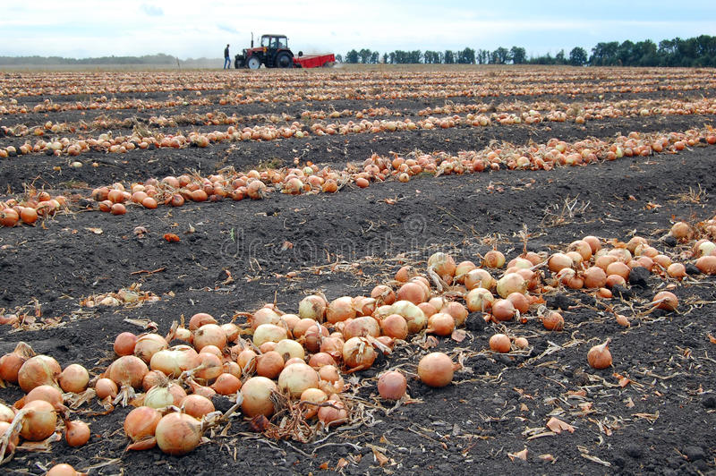 Field with onion during harvesting royalty free stock photo