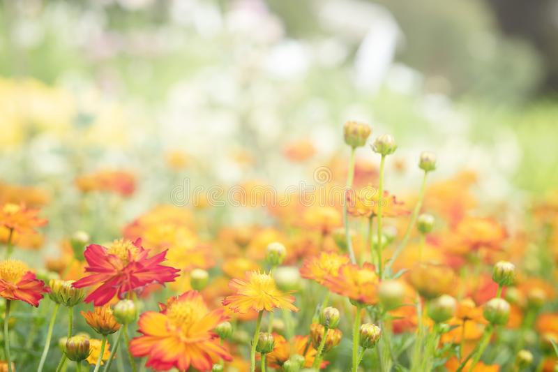 Field with orange flowers of calendula . Selective focus, Beautiful blooming flowers orange color stock photos