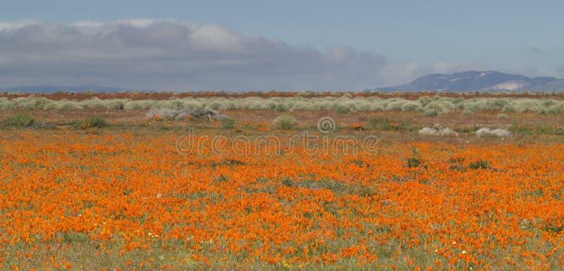 Field of Orange Poppies stock photography