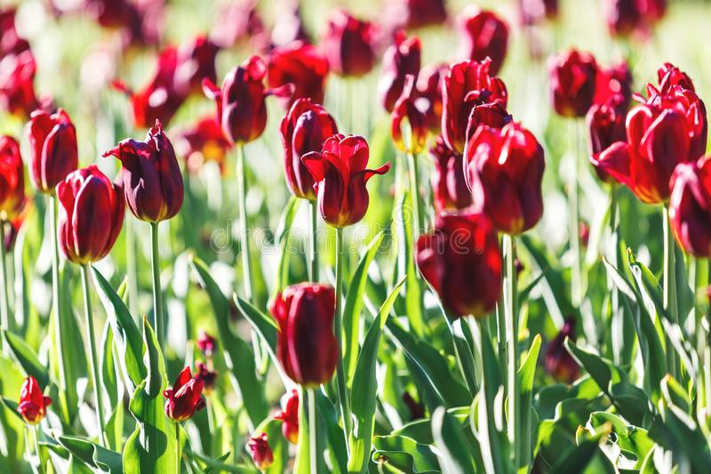 Field of orange and red tulips with selective focus. Spring, floral background. Garden with flowers. Natural blooming royalty free stock photography