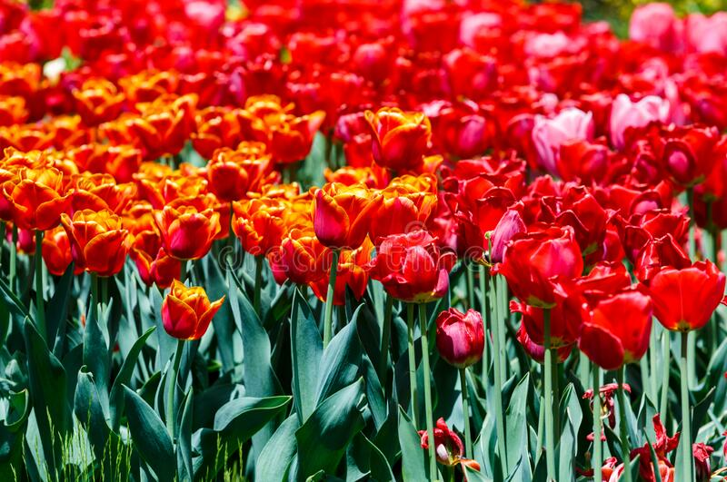 Field of orange and red tulips with selective focus. Spring, floral background. Garden with flowers. Nature. Field of orange and red tulips with selective focus royalty free stock images