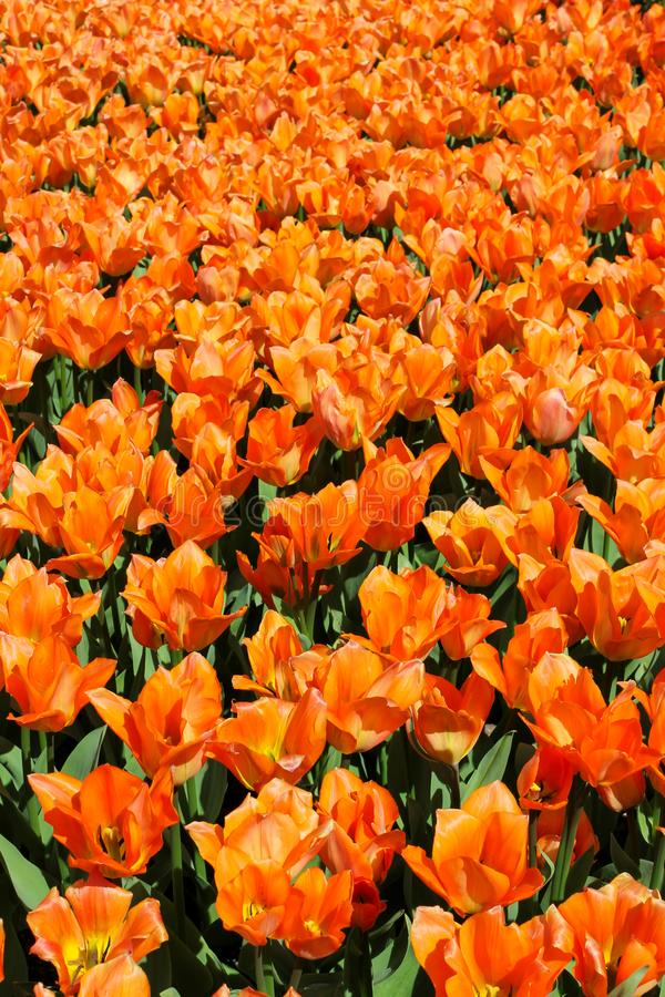 Field of orange tulips V royalty free stock images