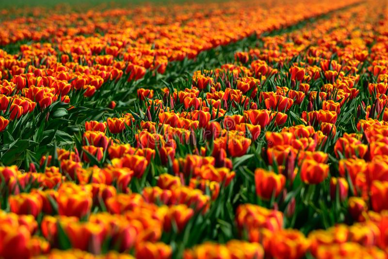Field of orange tulips in Holland , spring time colourful flowers royalty free stock image