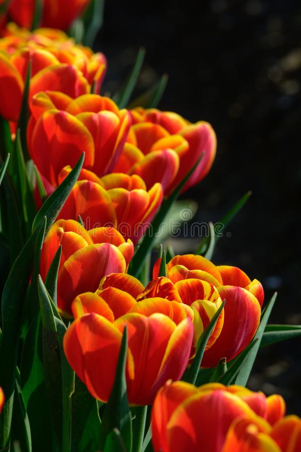 Field of orange tulips in Holland , spring time colourful flowers royalty free stock photos