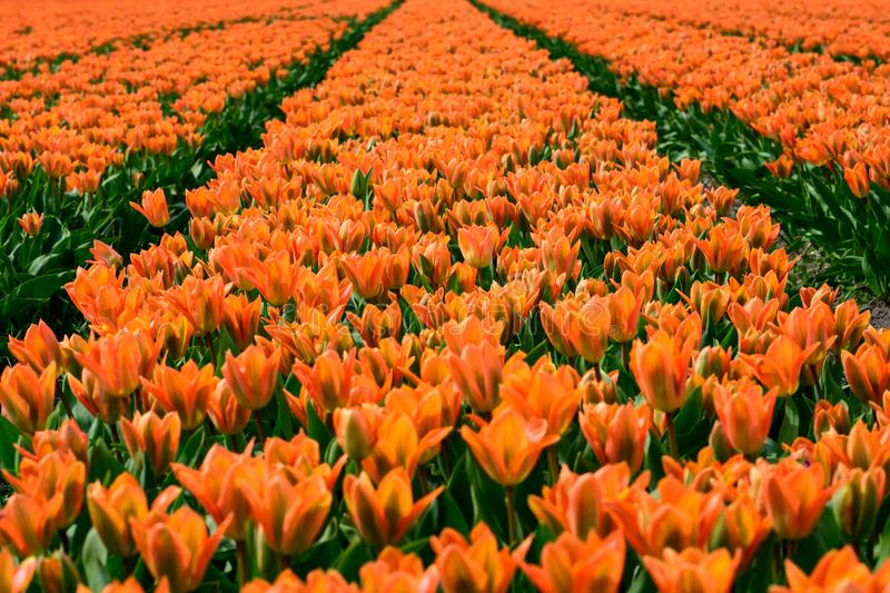 Field of orange tulips in Holland , spring time colourful flowers royalty free stock images