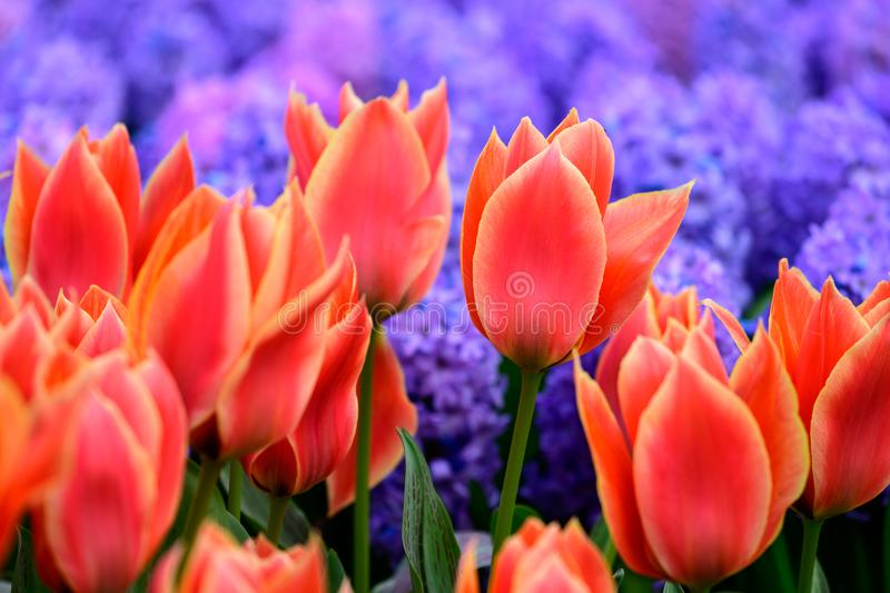 Field of orange tulips in Holland , spring time colourful flowers stock photos