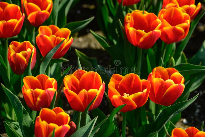 Field of orange tulips in Holland , spring time colourful flowers royalty free stock photography