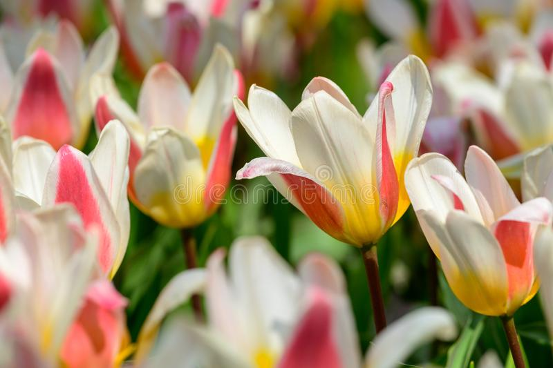 Field of orange white tulips in Holland , spring time colourful flowers stock images