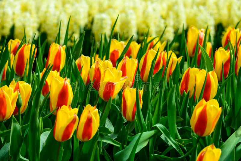 Field of orange yellow tulips in Holland , spring time colourful flowers stock photos