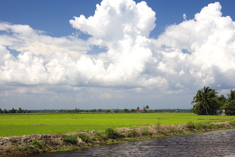 field paddy arkivbilder