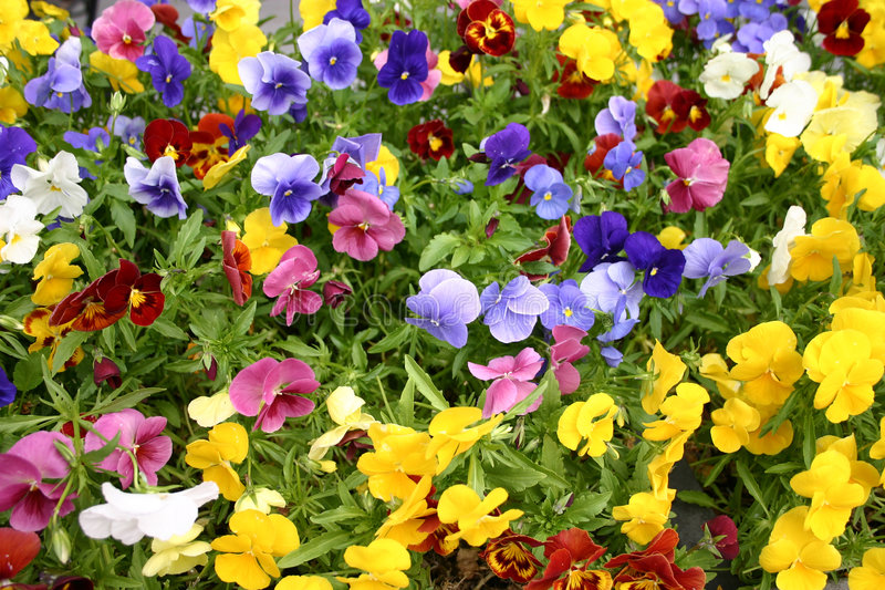 Field of pansies royalty free stock photo